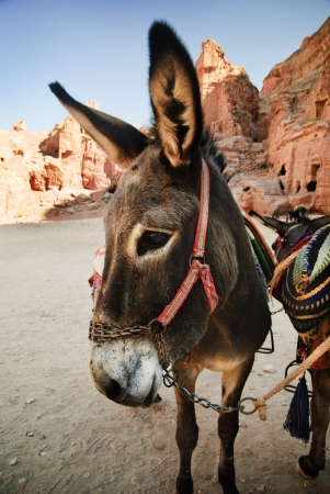 Donkey in town of Petra, Jordan photo