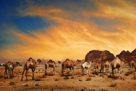 Camels in desert of Wadi Rum, Jordan photo