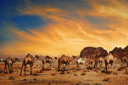 Camels in desert of Wadi Rum, Jordan