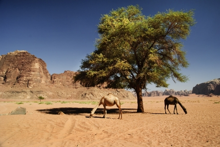 Two camels in desert of Wadi Rum, Jordan photo