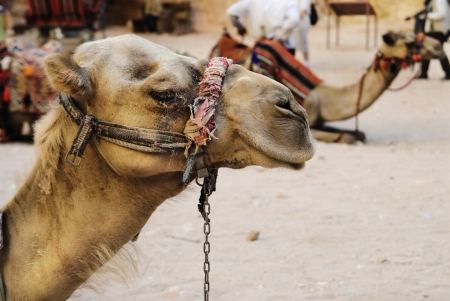 Camels in town of Petra, Jordan photo