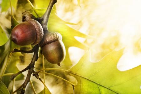 Oak tree and acorns with copyspace Stockfoto