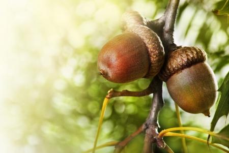 acorn: Oak tree and acorns with copyspace Stock Photo