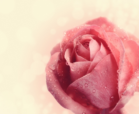 Beautiful pink rose with water drops , close up photo