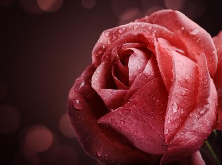 rosas negras: Hermosa rosa rosa sobre fondo oscuro