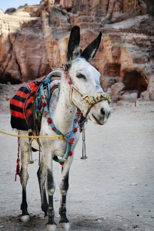 siq:  Donkey in town of Petra, Jordan Stock Photo