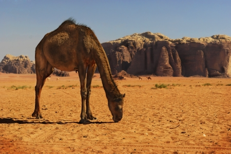 Camel in desert of Wadi Rum, Jordan photo