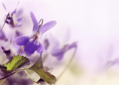 Beautiful violet in the field closeup