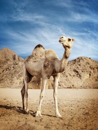 camel in desert: Camel in the desert in Egypt