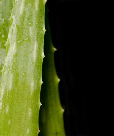 Aloe Vera over black background photo
