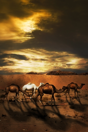 Wadi: Camels in the desert