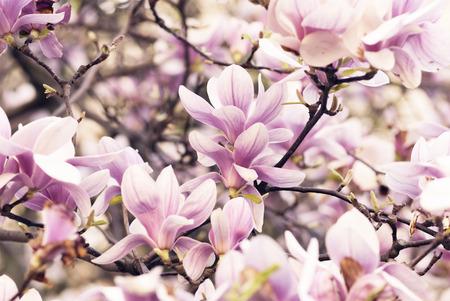 Beautiful magnolia flower in garden photo