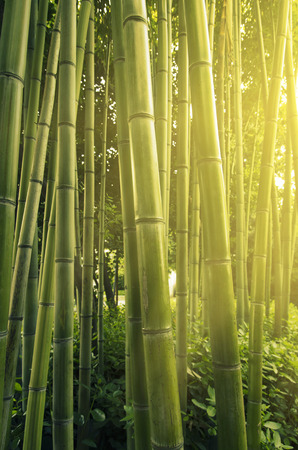 Sunlight in bamboo forest photo
