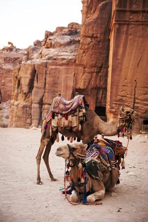 saddle camel: Camels in town of Petra, Jordan