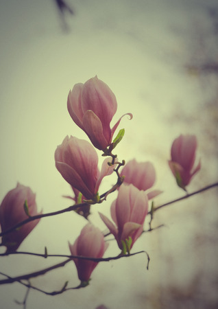 Beautiful magnolia flower in retro style photo