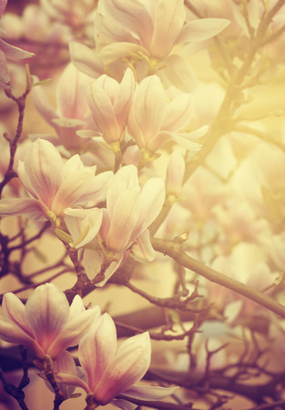 Beautiful magnolia flower and sunlight photo