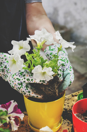 Woman with gardening gloves growing white petunia seedling. Stock Photo