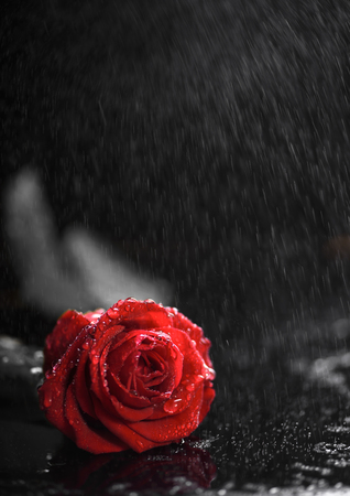 Beautiful red rose on the rain