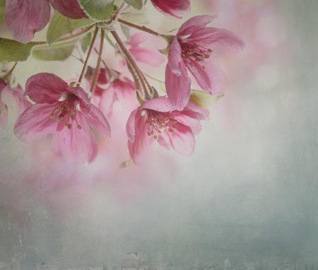 fleur de cerisier: Belle fleur de cerisier agrandi avec canvas texture