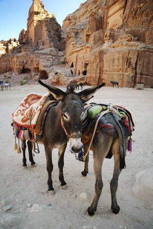 petra  jordan: Donkeies in town of Petra, Jordan Stock Photo
