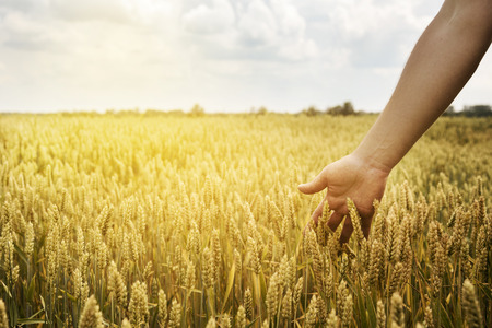 agriculture industry: Man in beautiful wheat field with sunlight