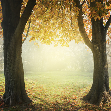 trees seasonal: Autumn trees with golden leaves with mist and sunlight. Seasonal landscape concept. Frame design with copyspace. Stock Photo
