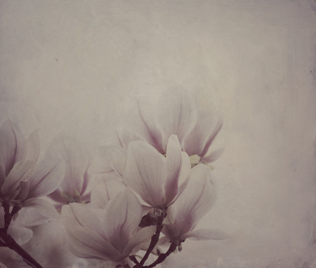 oil paint: Beautiful magnolia flowers with artistic oil paint canvas texture overlay. Wall art background.