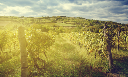 wineyard: Nature landscape. Wineyard with sunlight at late summer. Wine industry concept. Stock Photo
