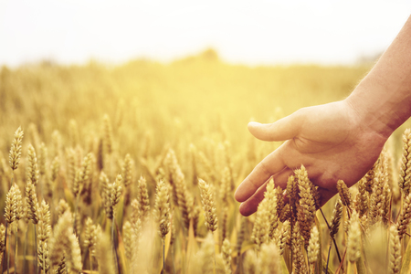 Closeup of farmers hand over wheat ears growing in summer. Sunset over golden crop field in countryside. Agricultural growth and farming concept.