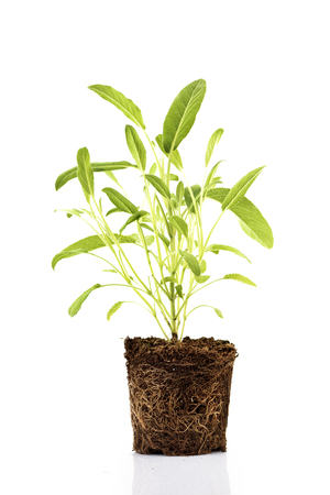 Fresh green plant with roots visible in soil isolated over white background. Sage herbs and spices seedling in dirt.