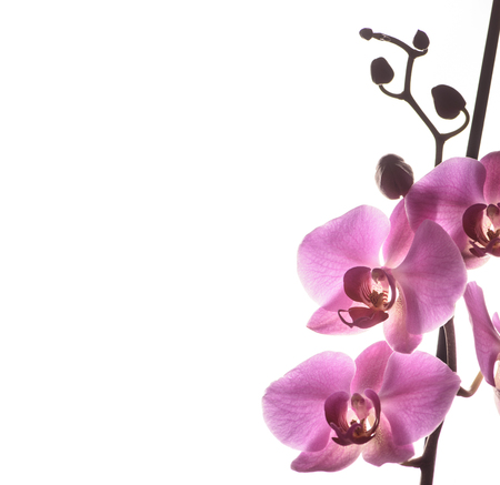 Beautiful pink orchid flower isolated over white background with copyspace. Fine art wallpaper design. Фото со стока
