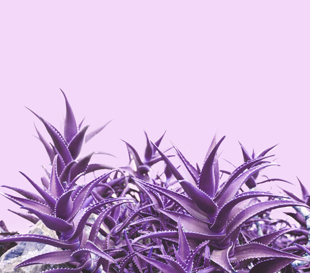 Purple aloe on pink background with copyspace.