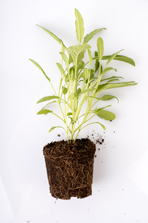Gardening seedling in spring time. Fresh green plant with roots visible in soil isolated over white background. Sage herbs and spices seedling in dirt.