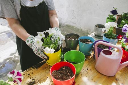 Senior woman holding petunia seedling for transplanting in flowers pot in her garden. Springtime gardening hobby activity.