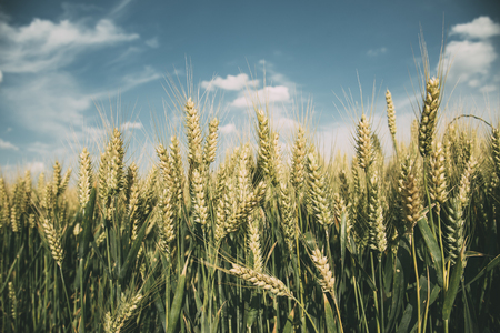 Closeup of wheat ears in field in summer. Farming and agriculture concept.