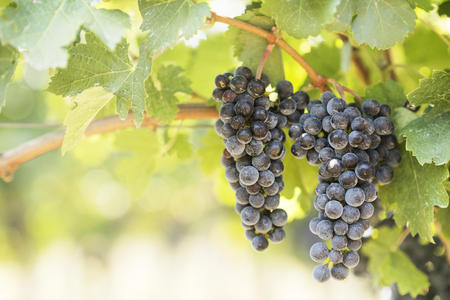 Closeup of blue grapes in vineyard with sunlight. Winery and grape growing background frame.