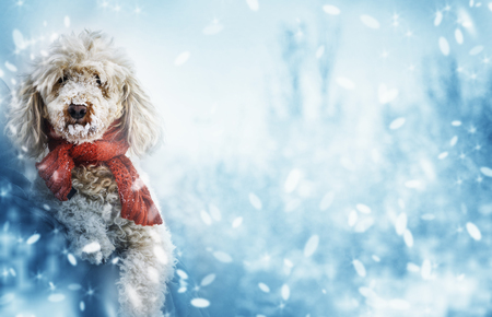 Funny cute dog with red scarf and snow on his nose. Christmas and new year celebration concept. Winter season background with cute pet. Фото со стока
