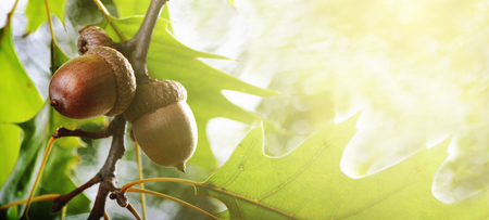 Herfstbladeren en eikel op het ontwerpachtergrond van de boombanner. Herfst eiken gebladerte met zonlicht. Seizoensgebonden concept voor thanksgiving kerstkaart.