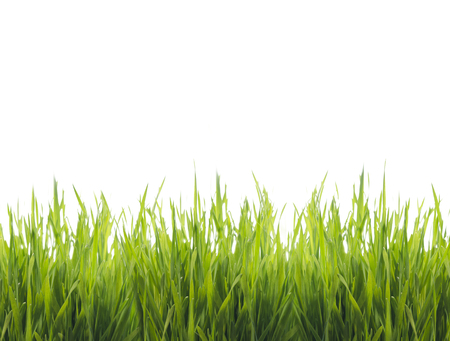 Closeup of fresh green grass isolated over white background. Ecology and environment design banner. Nature creative concept.