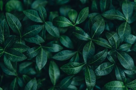 Abstract natural leaves background. Dark green foliage from above. Plant and nature wallpaper design. Ecology and eco concept.