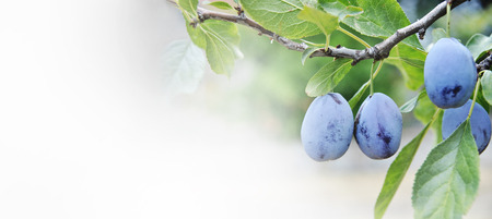 Closeup of plum tree with growing fruits on branches. Fruit orchard farm background design. Banque d'images