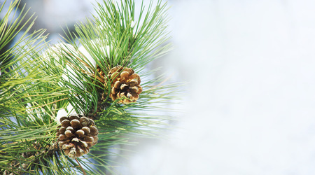 Closeup of pine cone on fir tree brunch under snow. Winter holiday banner design with copyspace. Christmas and new year seasonal holiday neture background.