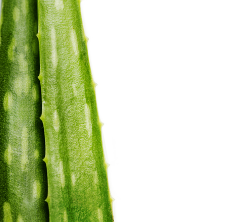 Closeup of aloe vera plant isolated over white background. Organic herbal ingredient for alternative medicine and skin and hair treatment beauty product. Stock Photo