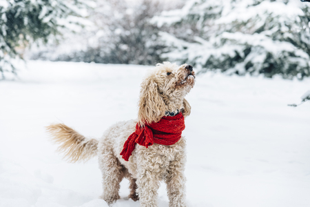 Cute and funny little dog with red scarf playing and jumping in the snow. Happy puddle having fun with snowflakes. Outdoor winter happiness. Stock Photo