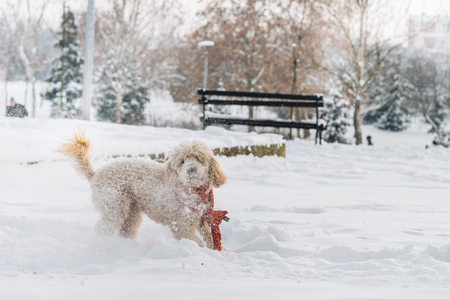 Cute and funny little dog with red scarf playing and jumping in the snow. Happy puddle having fun with snowflakes. Outdoor winter happiness. Фото со стока