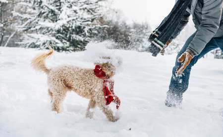 Snowball fight fun with pet and his owner in the snow. Winter holiday emotion. Cute puddle dog and man playing and running in the forest. Film filter image. Фото со стока