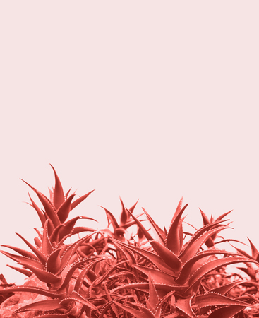 Minimal contemporary creative design with aloe plant in coral color of the year.