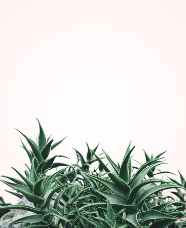 Cool minimal nature design with aloe vera plant in pastel and green color