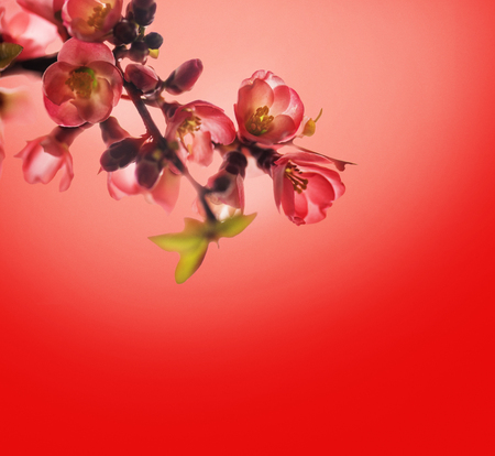 Spring blossom border over red background with copyspace. Chinese new year nature design. Flower decor for traditional asian spring festival. Lunar new year celebration.