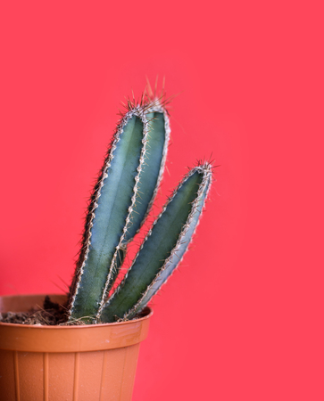 Green mexican cactus in decor pot over bright red pastel